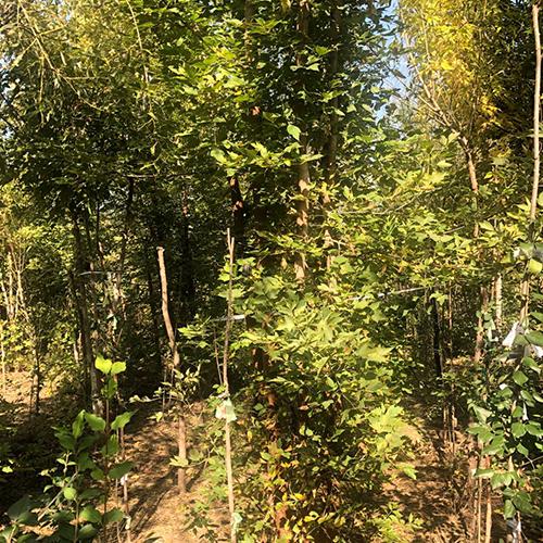 四公分糖槭