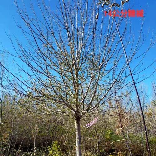糖槭12-14公分