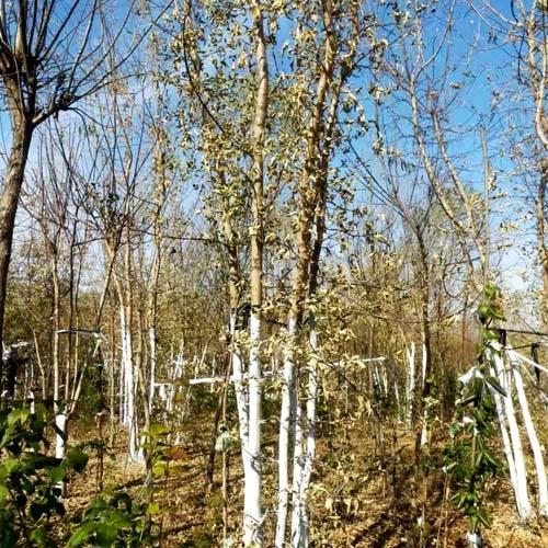 丛生糖槭4-6分枝