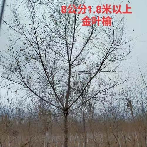3-8公分金叶榆