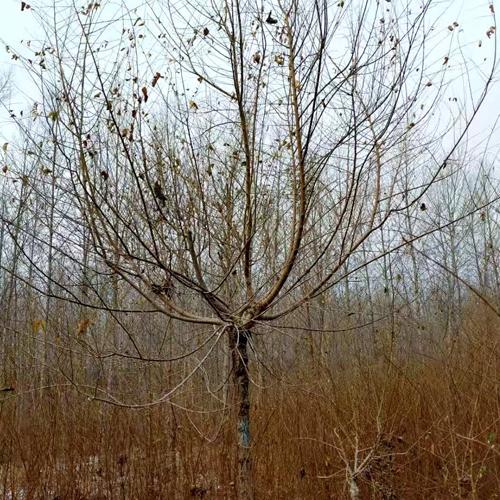 金叶榆高1.2-1.8米胸径4-8厘米