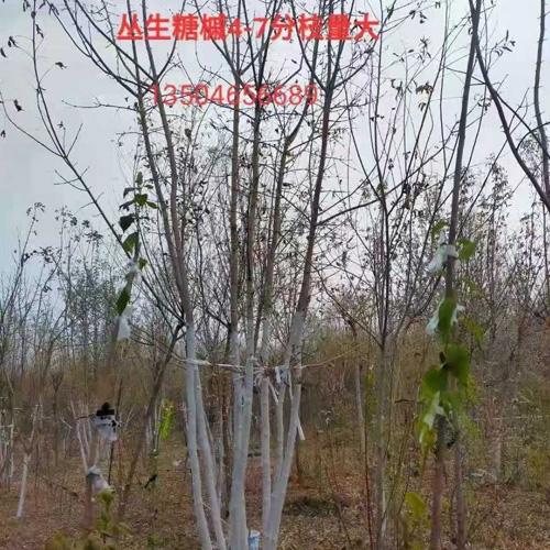 丛生糖槭4-7分枝