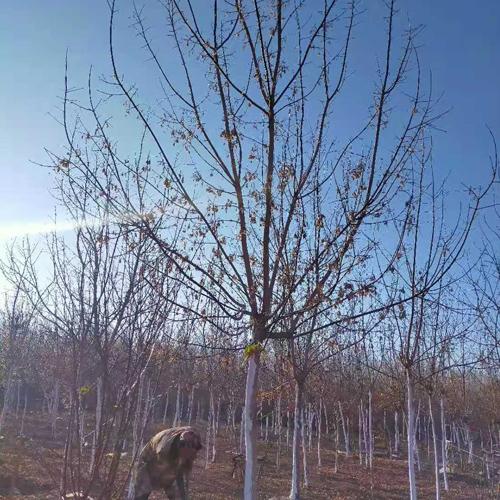 吉林10-14公分糖槭