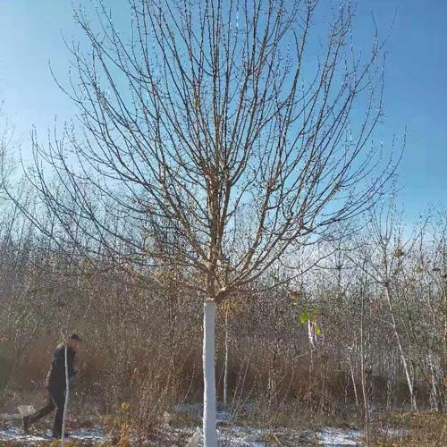 10-14公分糖槭,冠美干直