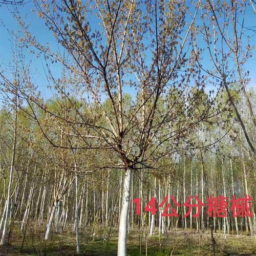 糖槭4-14公分