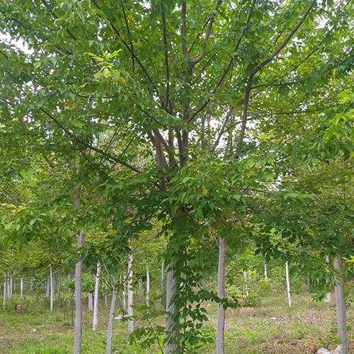 4-12公分糖槭